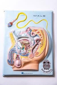 Male Anatomy Chart